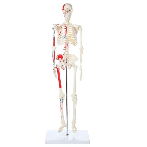Axis Scientific Miniature Painted Human Skeleton full view of skeleton