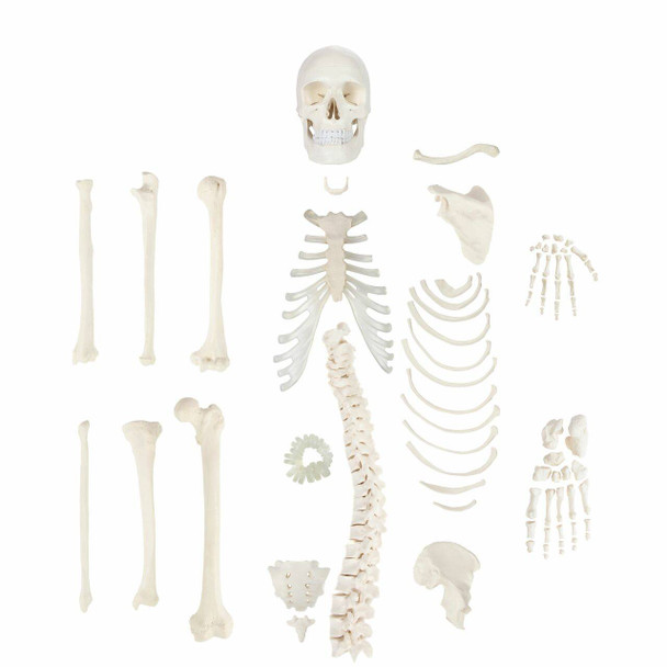 Axis Scientific Disarticulated Life-Size Half Skeleton Anatomy Model Overview