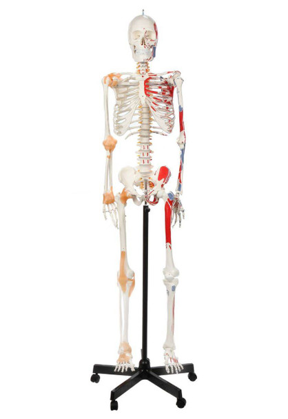 Axis Scientific Painted and Numbered Life-Size Human Skeleton Anatomy Model with Flexible Spine and Ligaments Overview