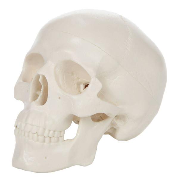 Axis Scientific 3-Part Miniature Human Skull Anatomy Model Overview