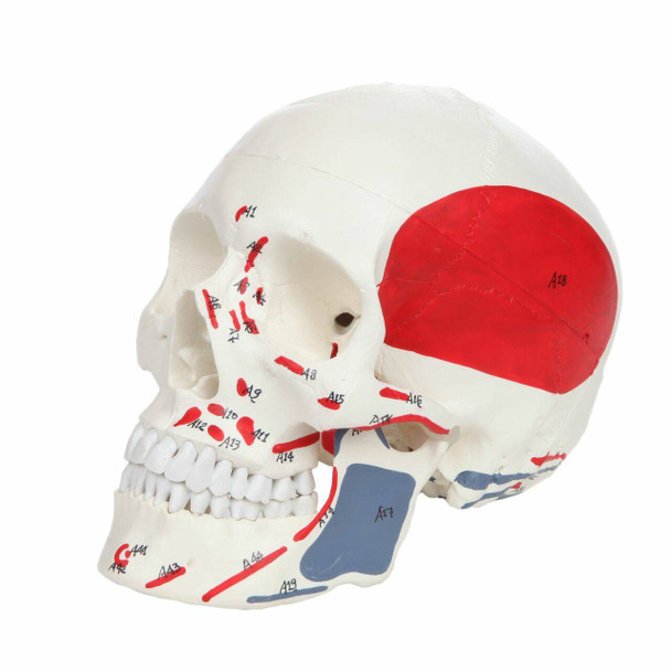 Axis Scientific Life-Size Painted and Numbered 3-Part Human Skull Anatomy Model Overview