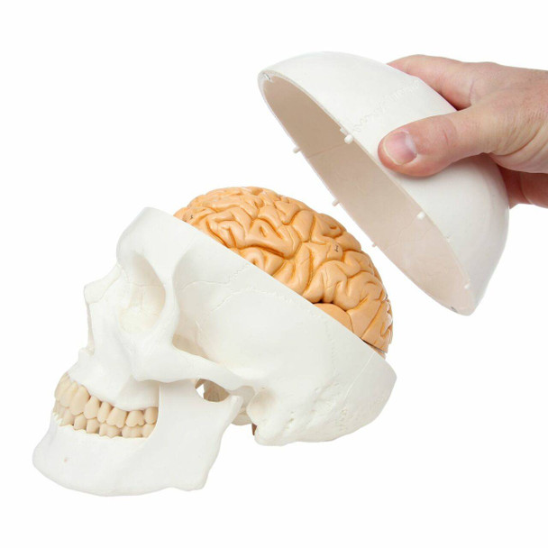 Axis Scientific Life-Size 3-Part Human Skull Model with skull cap being removed