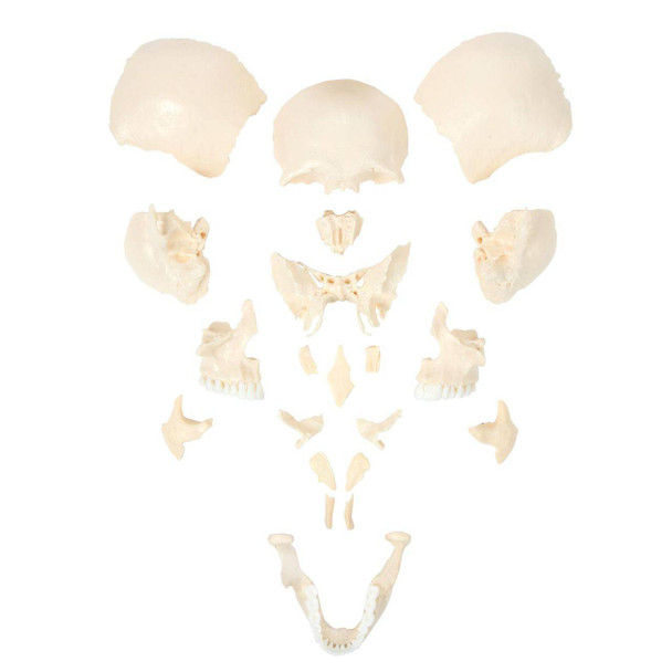Axis Scientific Life-Size 22-Part Disarticulated Human Skull Anatomy Model 22-Part Skull
