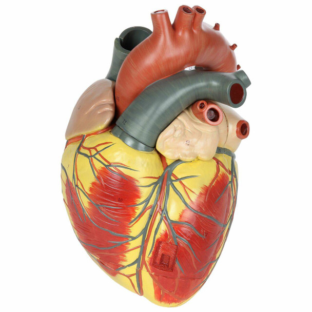 Axis Scientific 3x Life-Size 3-Part Human Heart Anatomy Model Overview