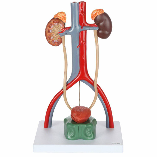 Axis Scientific Urinary System