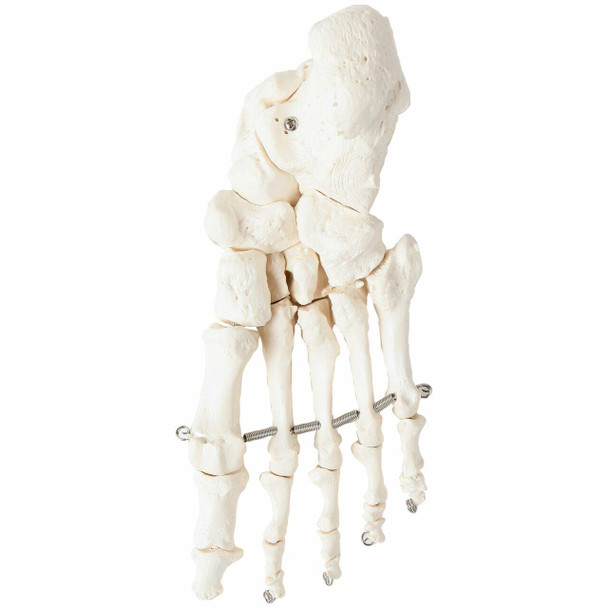 Axis Scientific Articulated Foot Skeleton