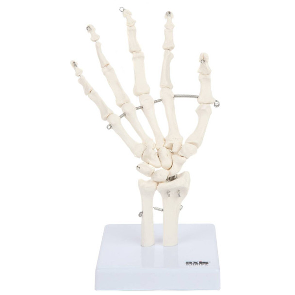 Axis Scientific Hand Skeleton Including Ulna and Radius