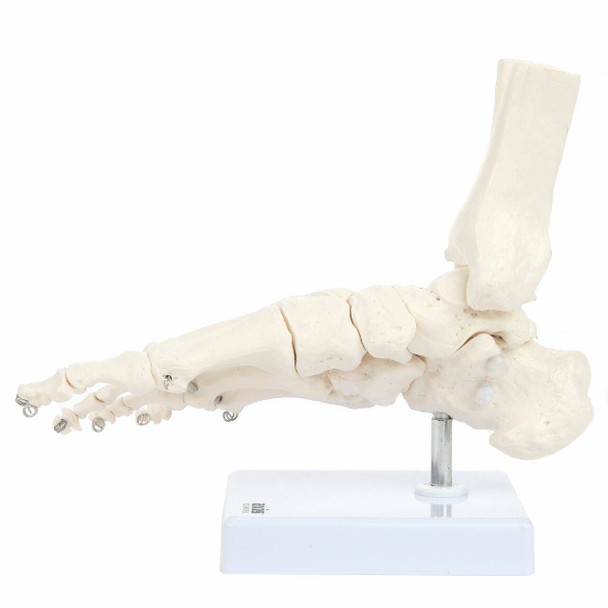 Axis Scientific Foot Skeleton With Ankle