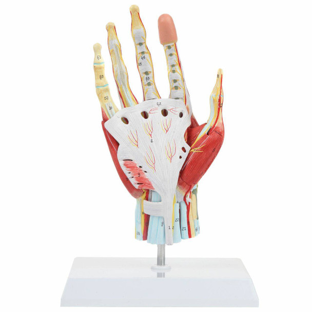 Axis Scientific 7 Part Hand with Muscles, Ligaments, Nerves and Arteries