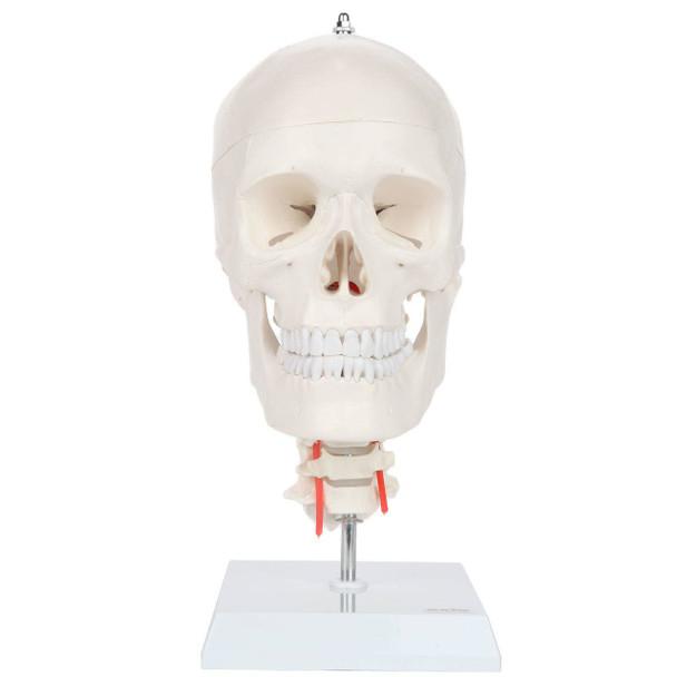 Axis Scientific Human Skull Model with Flexible Neck
