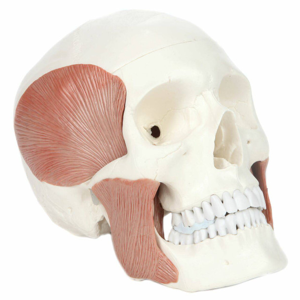 Axis Scientific Life-Size Human Skull with Masticatory Muscles Anatomy Model Front Right View