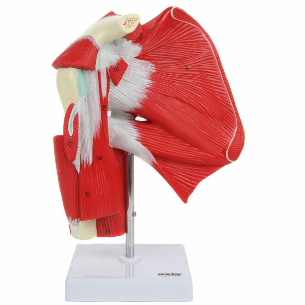Axis Scientific Numbered Human Shoulder Joint with Muscles Anatomy Model Overview