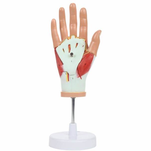 Axis Scientific Hand Model with Deep Layers