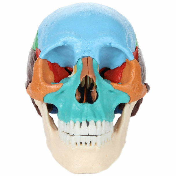 Axis Scientific 22 Part Osteopathic Didactic Human Skull
