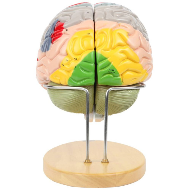 Axis Scientific 1.5 Times Life-Size Deluxe 4-Part Brain