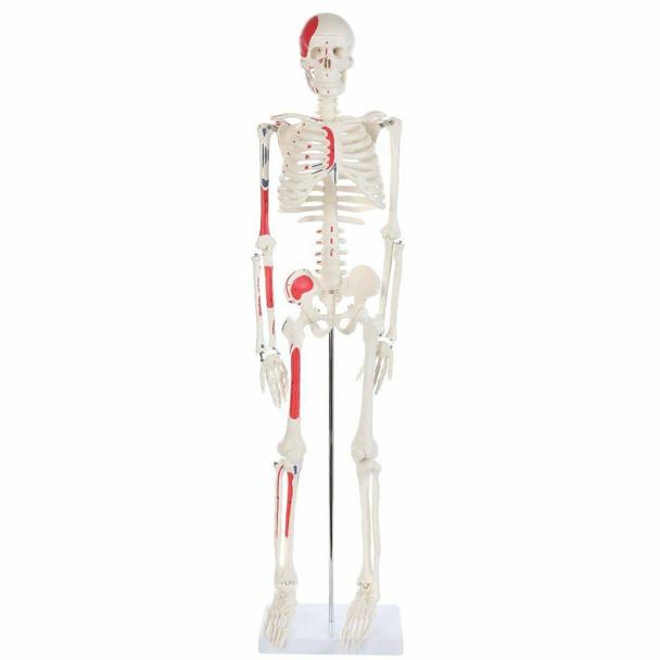 Anatomy Lab Essential Painted Mini Skeleton
