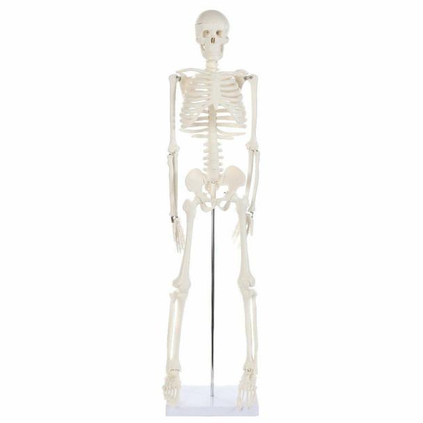 Anatomy Lab Essential Mini Skeleton