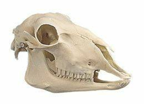 Fully Developed Sheep Skull Anatomy Model With Lower Jaw