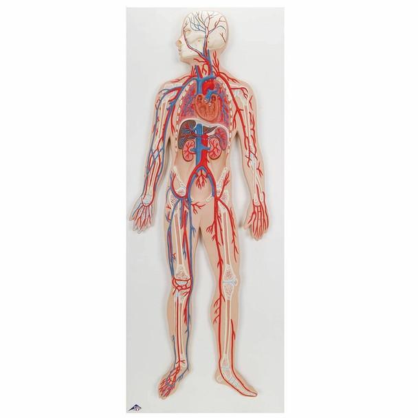 Half Life-Size Human Circulatory System Anatomy Model