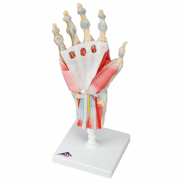 Hand and Lower Forearm Skeleton Anatomy Model With Ligaments