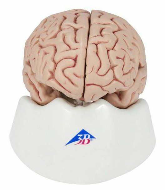 Human Brain Anatomy Model