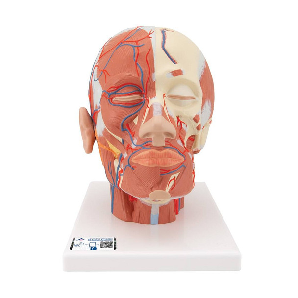 Head and Neck Musculature with Blood Vessels Anatomy Model