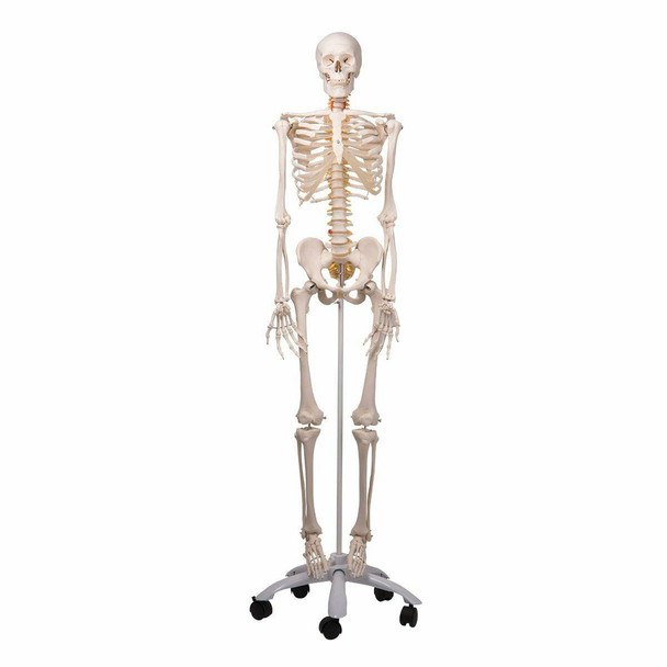 Fred The Flexible Skeleton Anatomy Model
