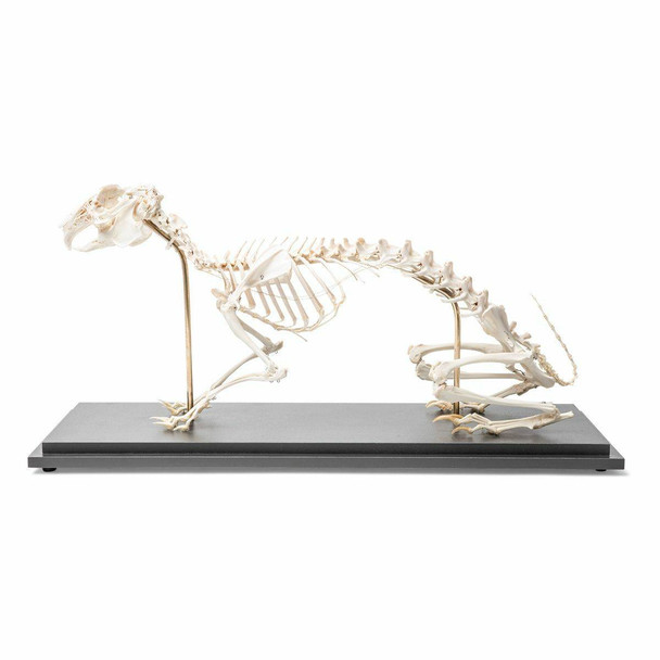 Rabbit Skeleton Natural Specimen Anatomy Model, Articulated