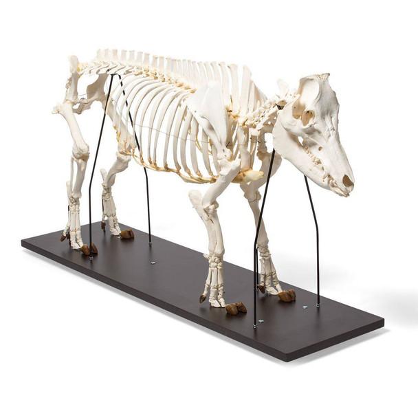 Pig Skeleton Anatomy Model On Wood Base
