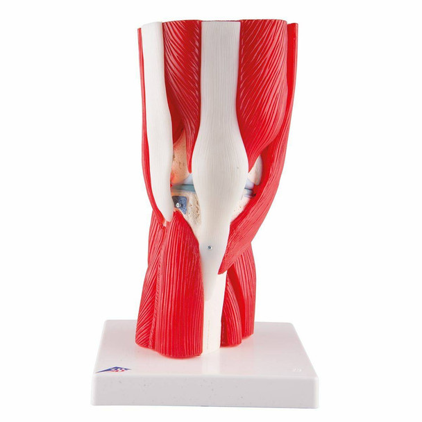 Knee Joint Anatomy Model With Removable Muscles 12 Parts