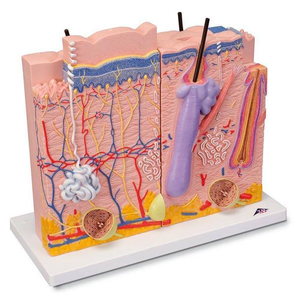 Human Skin Anatomy Model 3 Parts