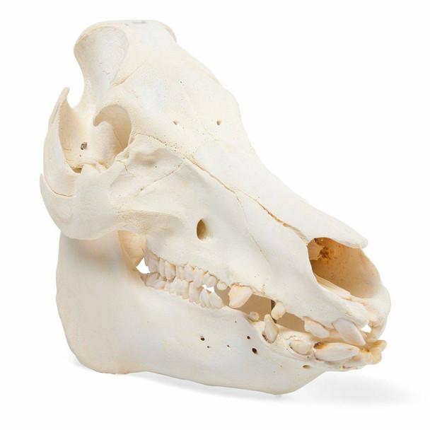 Pig Skull Anatomy Model