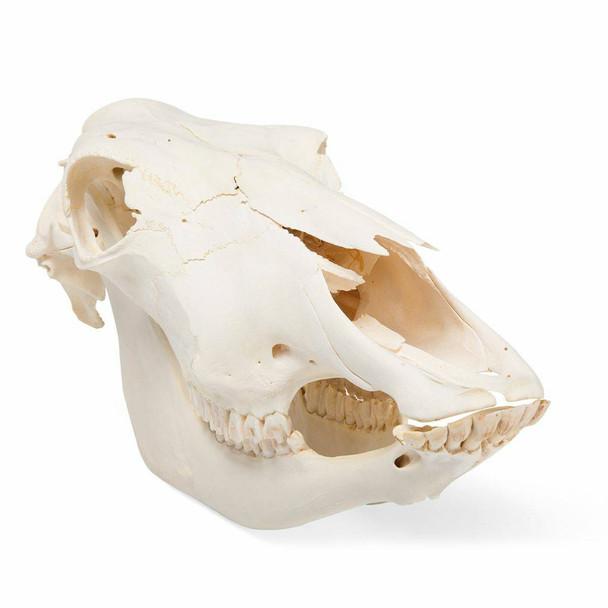 Cow Skull Anatomy Model