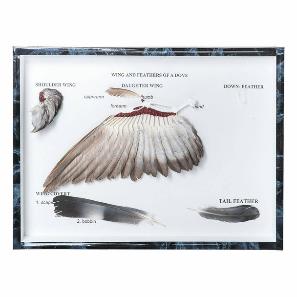 Pigeon Wings and Feathers Natural Specimen Anatomy Model