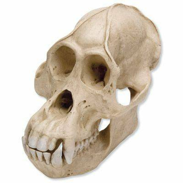 Anthropological Skull Model - Male Orang-Outang 2 Parts