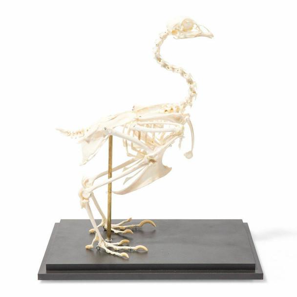 Chicken Skeleton Natural Specimen Anatomy Model, Articulated