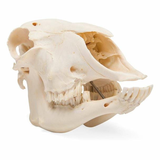 Sheep Skull Anatomy Model