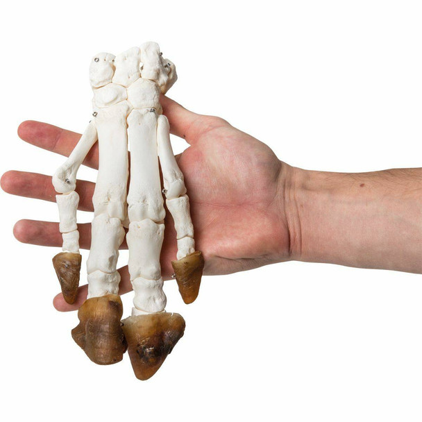 Pig Foot with Hoof Natural Specimen Anatomy Model, Articulated