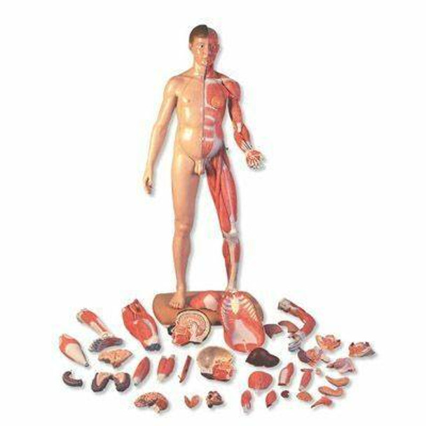 3B Scientific Life-Size Dual Sex Asian Human Figure Anatomy Model