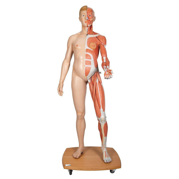 3B Scientific Life-Size Dual Sex Human Anatomy Figure