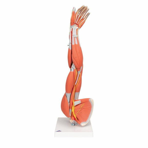 Dissectible Muscled Arm Anatomy Model