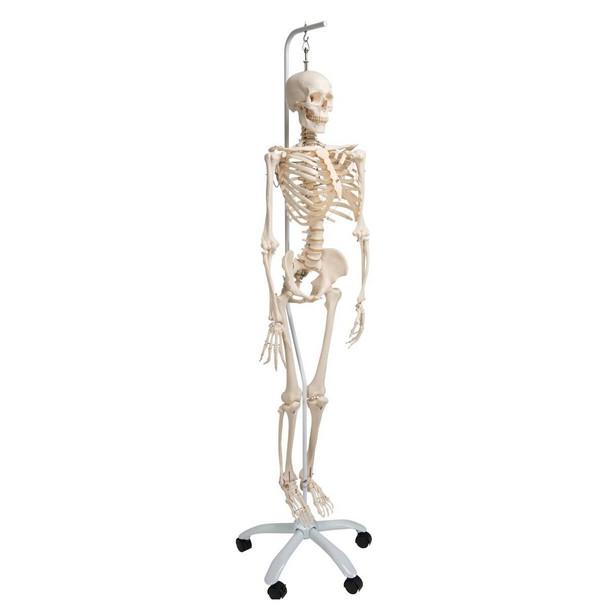 Physiological Skeleton Model - Phil