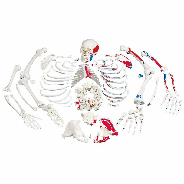 Disarticulated Painted Full Skeleton Anatomy Model