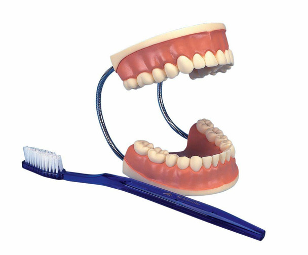 Giant Dental Care Anatomy Model
