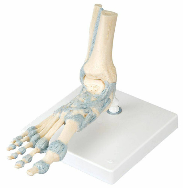 Foot Skeleton Anatomy Model With Ligaments