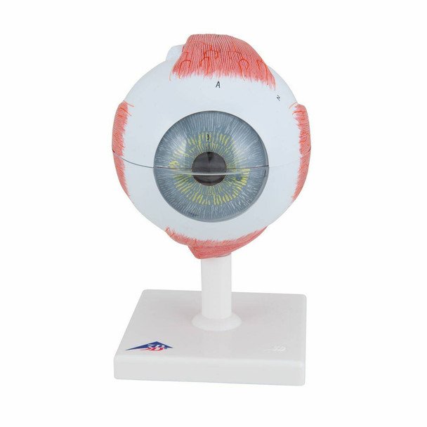 5 Times Full-Size Human Eye Anatomy Model 6 Parts