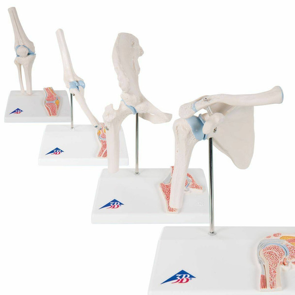 Mini Joint with Cross Section Anatomy Model Set