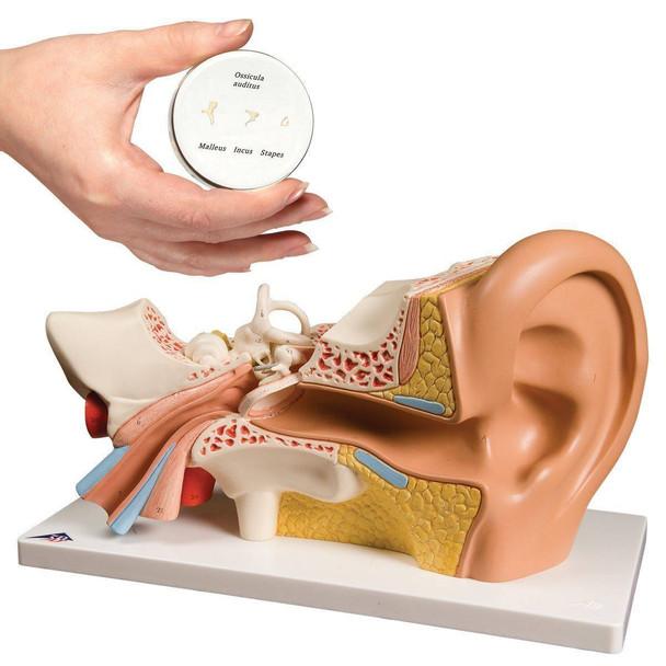 Ear Anatomy Model Set