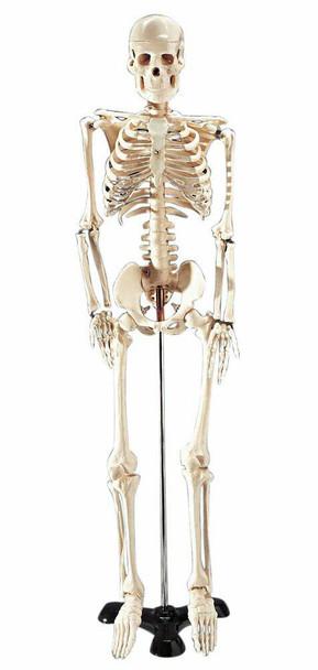 Mr Thrifty Skeleton Anatomy Model