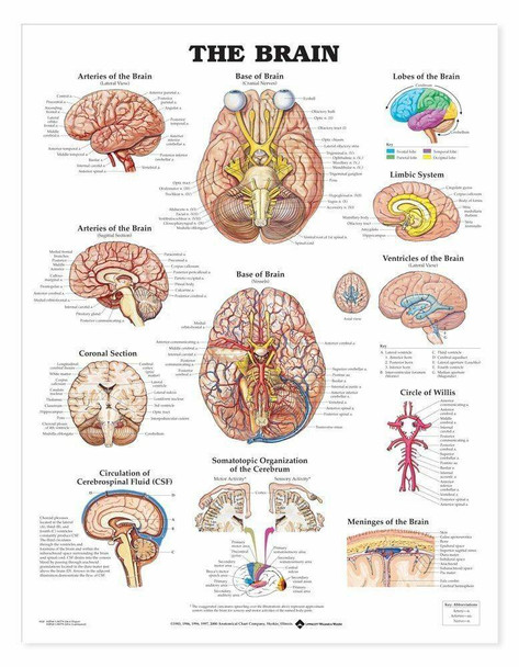 The Brain Laminated Anatomical Chart